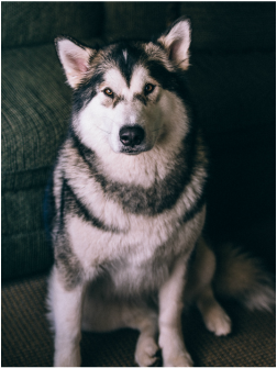 Maida the Alaskan Malamute