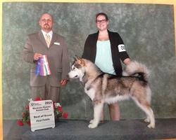 Maida the Alaskan Malamute winning her first points