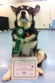 Maverick the Alaskan Malamute Obedience Star
